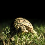 iPad Retina HD Wallpaper Turtle
