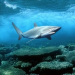 iPad Retina HD Wallpaper Shark