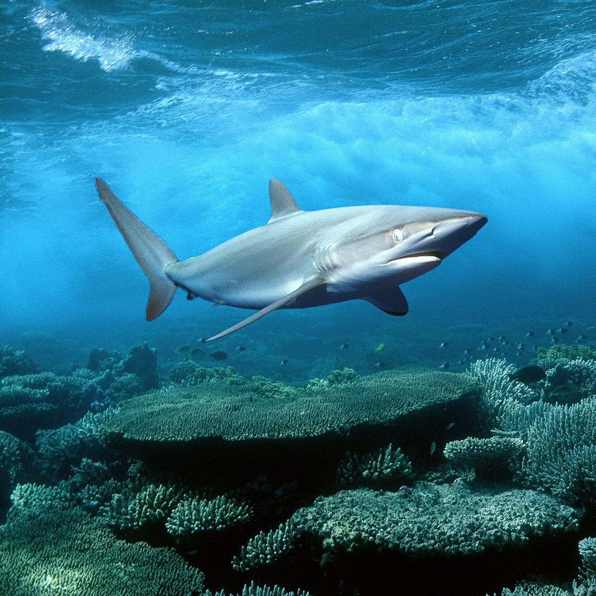 iPad Retina HD Wallpaper Shark - iPad