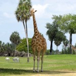 iPad Retina HD Wallpaper Giraffe